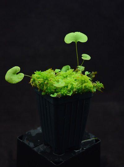 Utricularia reniformis 'F. courte'
