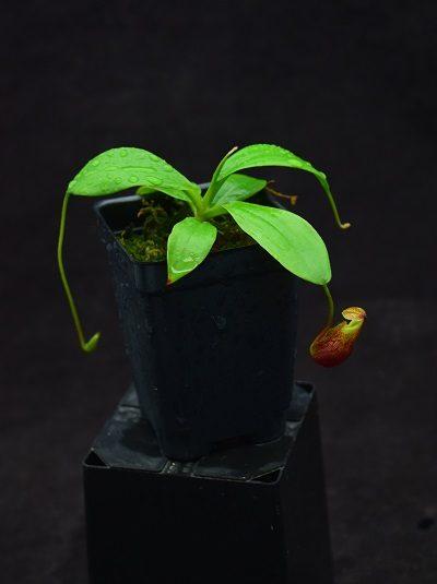 Nepenthes mira