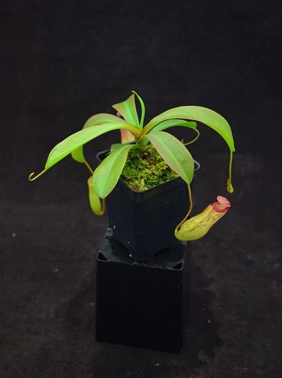Nepenthes ventricosa x (maxima x talangensis)