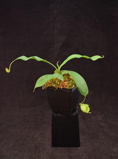 Nepenthes ampullaria – Borneo Sunset