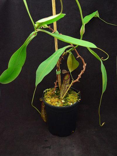 Nepenthes boschiana x gymnamphora
