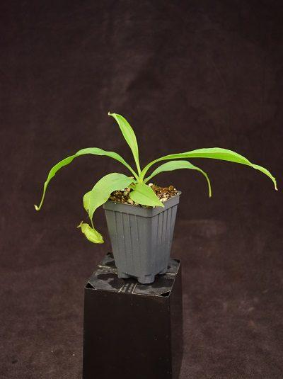 Nepenthes mirabilis var globosa