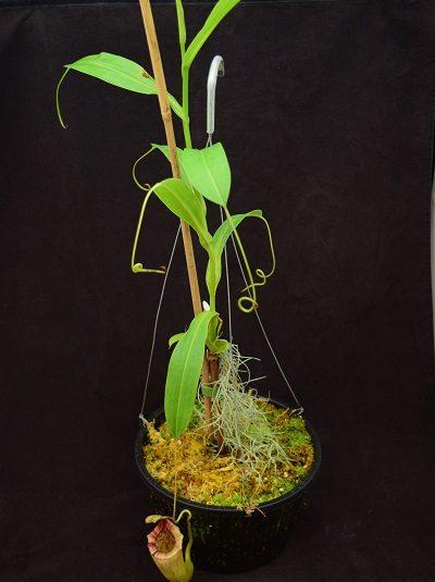 Nepenthes sibuyanensis x maxima (l) (b)