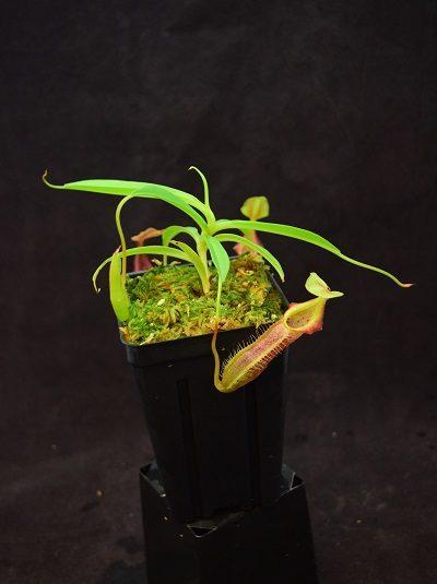 Nepenthes singalana