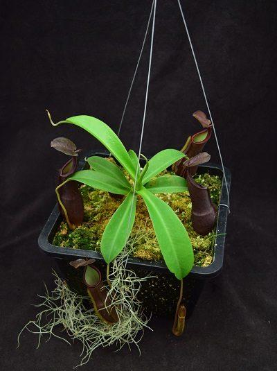 Nepenthes spathulata x ramispina