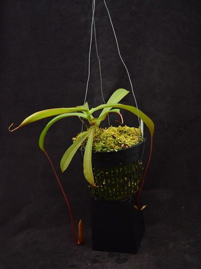 Nepenthes ventricosa-squat x ovata