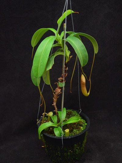 Nepenthes (ventricosa x sibuyanensis) x Sabre 'Dark Cherry'