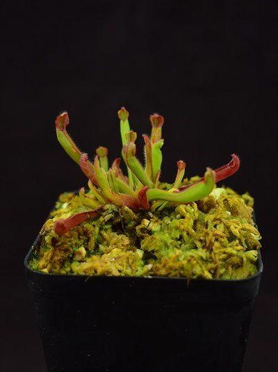 Heliamphora arenicola