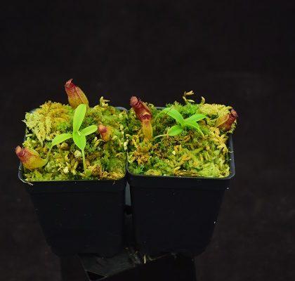 Nepenthes aristolochioides x inermis