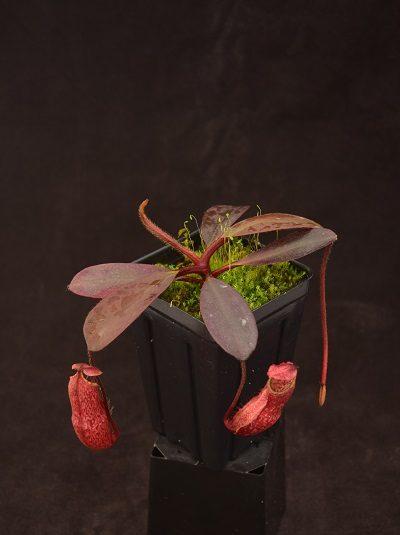 Nepenthes peltata - Borneo Exotics