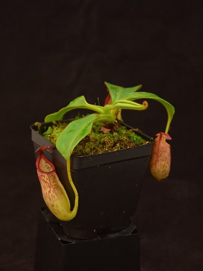 Nepenthes petiolata x veitchii
