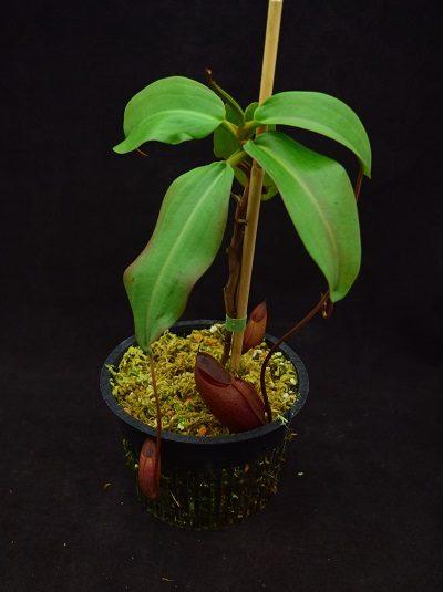 Nepenthes rajah x mira