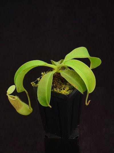 Nepenthes splendiana x Tiveyi