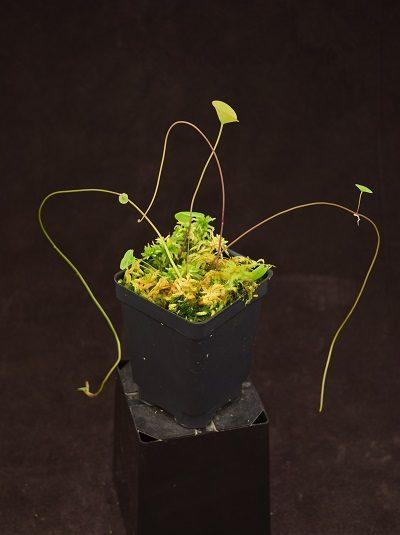 Utricularia nelumbifolia