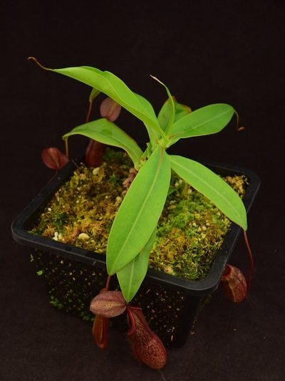 Nepenthes Lovelock