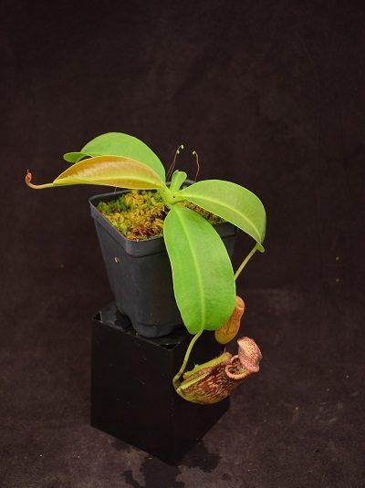 Nepenthes (Rokko 'Exotica' x boschiana) x maxima x [(stenophylla x lowii) x (Rokko x veitchii)]