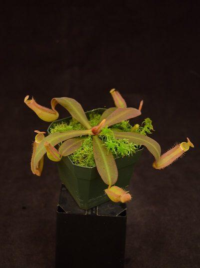 Nepenthes albomarginata - purple
