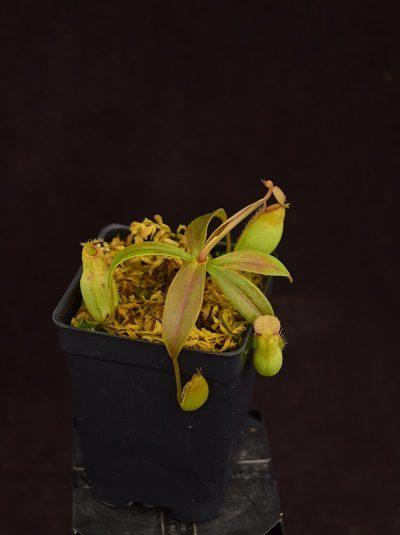 Nepenthes ampullaria x aristolochioides