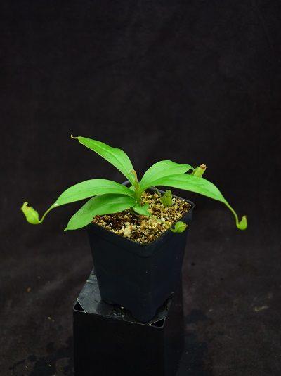 Nepenthes ampullaria x sibuyanensis