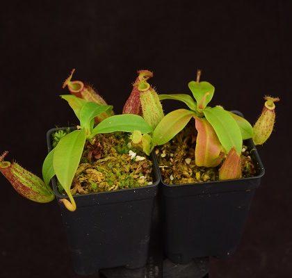 Nepenthes ampullaria x sp. #1