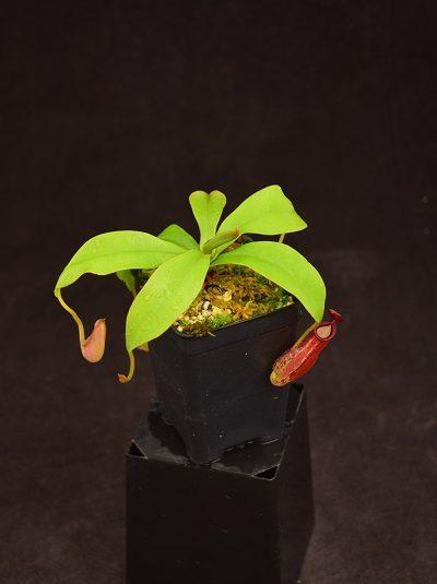 Nepenthes ampullaria x (spectabilis x ventricosa)