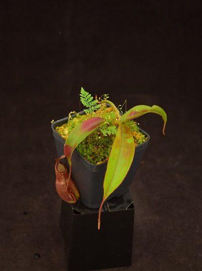 Nepenthes densiflora x mirabilis var globosa