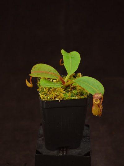 Nepenthes fusca - Sarawak