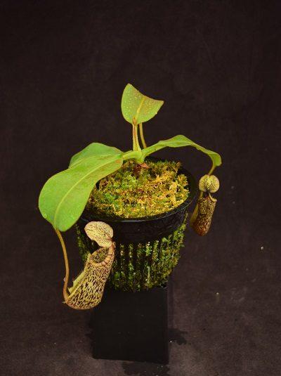 Nepenthes glandulifera x platychila