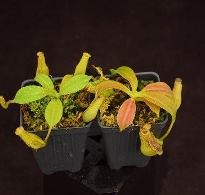 Nepenthes maxima 'dark' x 'effulgent koto'