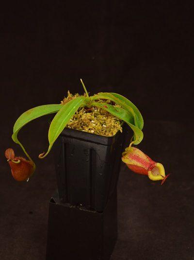 Nepenthes (mirabilis var globosa x ampullaria) x {[Rokko x (fusca x spectabilis)] x trusmadiensis}