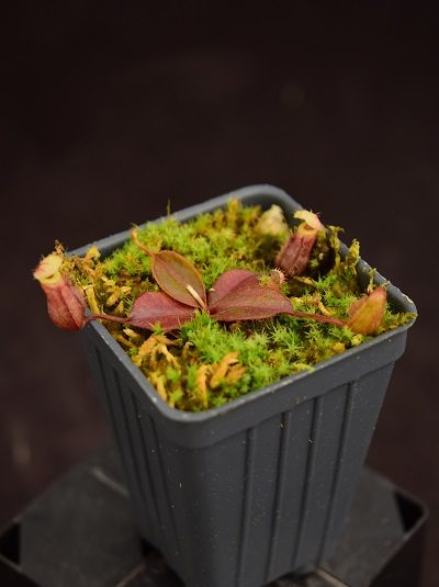 Nepenthes palawanensis - small