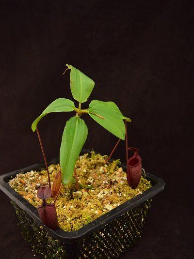 Nepenthes rajah x mira #1