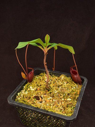 Nepenthes rajah x mira #2