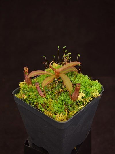 Nepenthes ramispina x reinwardtiana