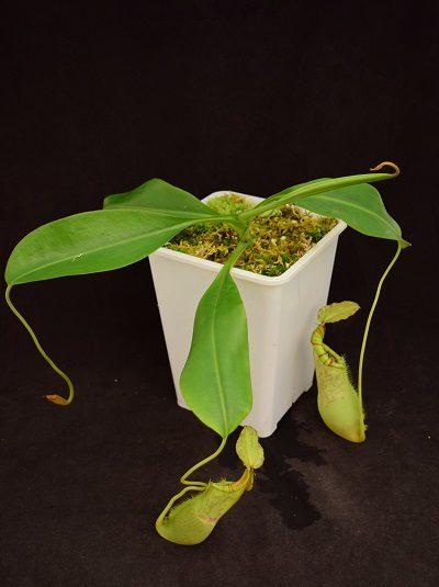 Nepenthes singalana x burbidgeae