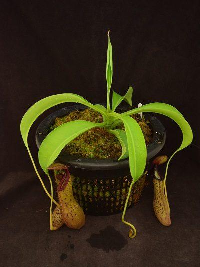 Nepenthes spathulata x boschiana