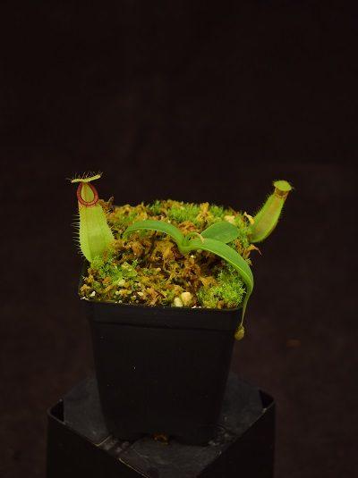 Nepenthes spathulata x hamata