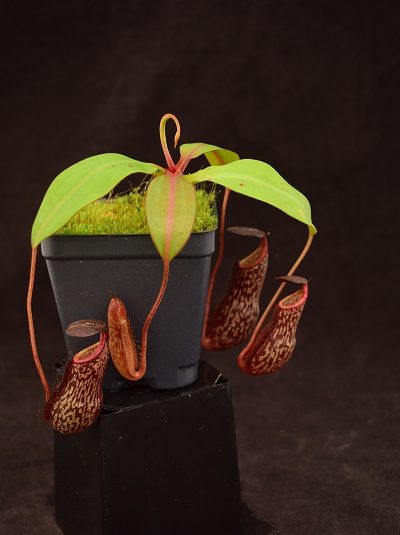 Nepenthes spectabilis x boschiana