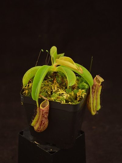 Nepenthes splendiana x veitchii