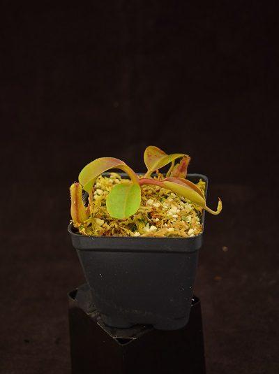 Nepenthes truncata-giant x boschiana