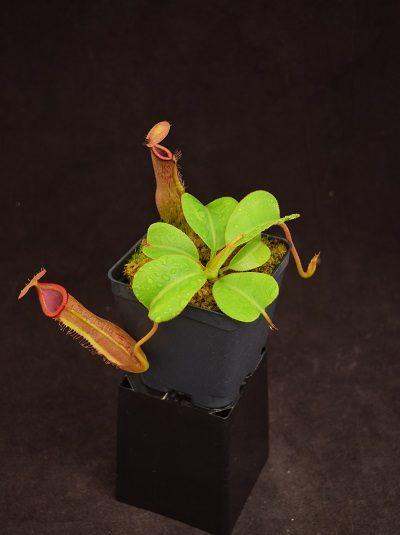 Nepenthes truncata-giant x trusmadiensis