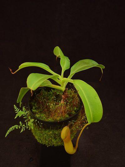 Nepenthes truncata x insignis-biak