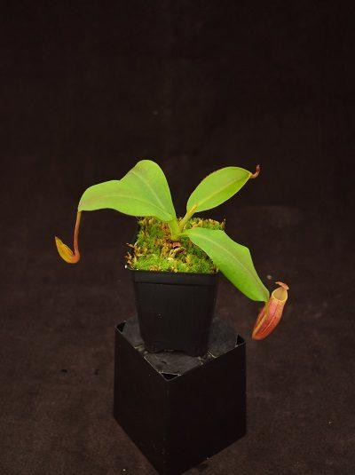 Nepenthes veitchii x mira