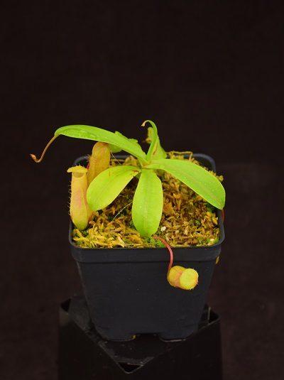 Nepenthes ventricosa - Black Lips x ventricosa