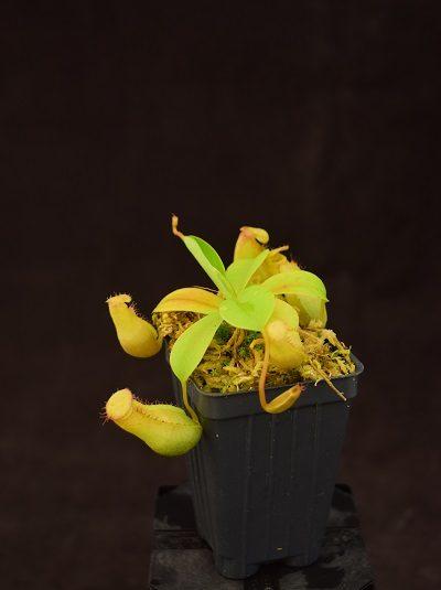 Nepenthes (ventricosa x carunculata var robusta) x (ventricosa x xtrusmadiensis) #1