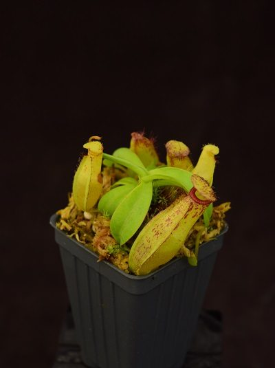 Nepenthes (ventricosa x carunculata var robusta) x (ventricosa x xtrusmadiensis) #2