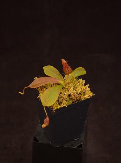 Nepenthes (ventricosa x sibuyanensis) x [platychila x (platychila x fusca)]