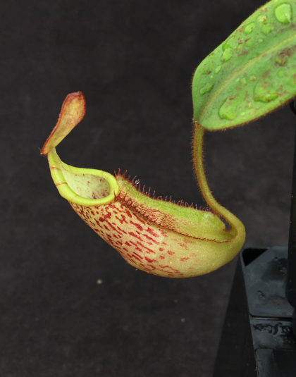 Nepenthes spectabilis x veitchii