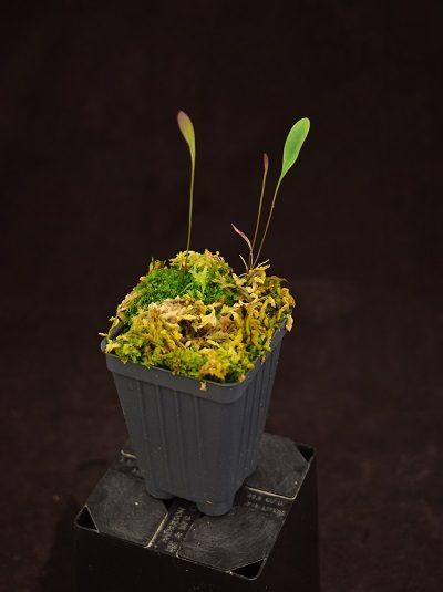 Utricularia humboldtii