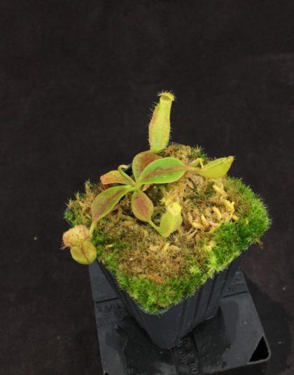 Nepenthes longifolia x boschiana